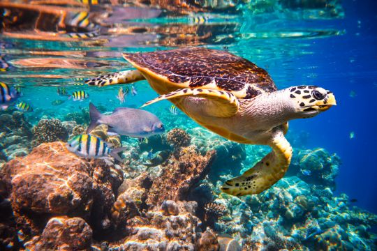 Hawksbill Turtles floats underwater